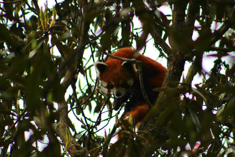 BeFunky_Red-Panda-Eco-Trip-Network.jpg