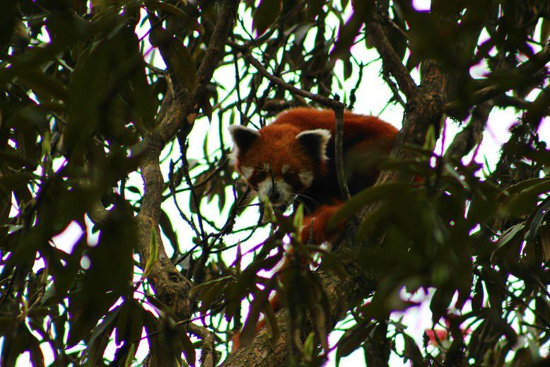 BeFunky_Red-Panda-Lex-Limbu.jpg