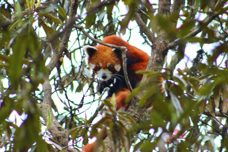 BeFunky_Red-Panda-Network-Nepal.jpg