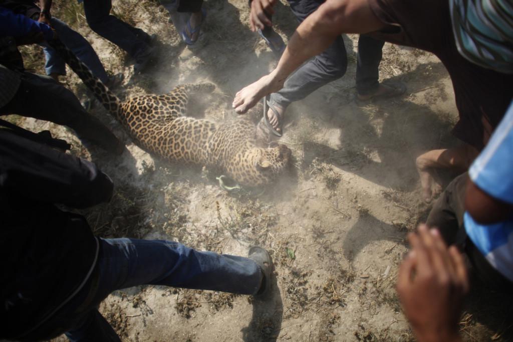 Leopard Kathmandu Niranjan Shrestha 1