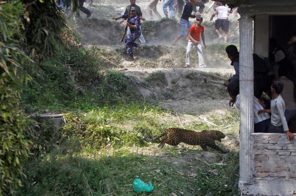 Leopard Kathmandu Niranjan Shrestha