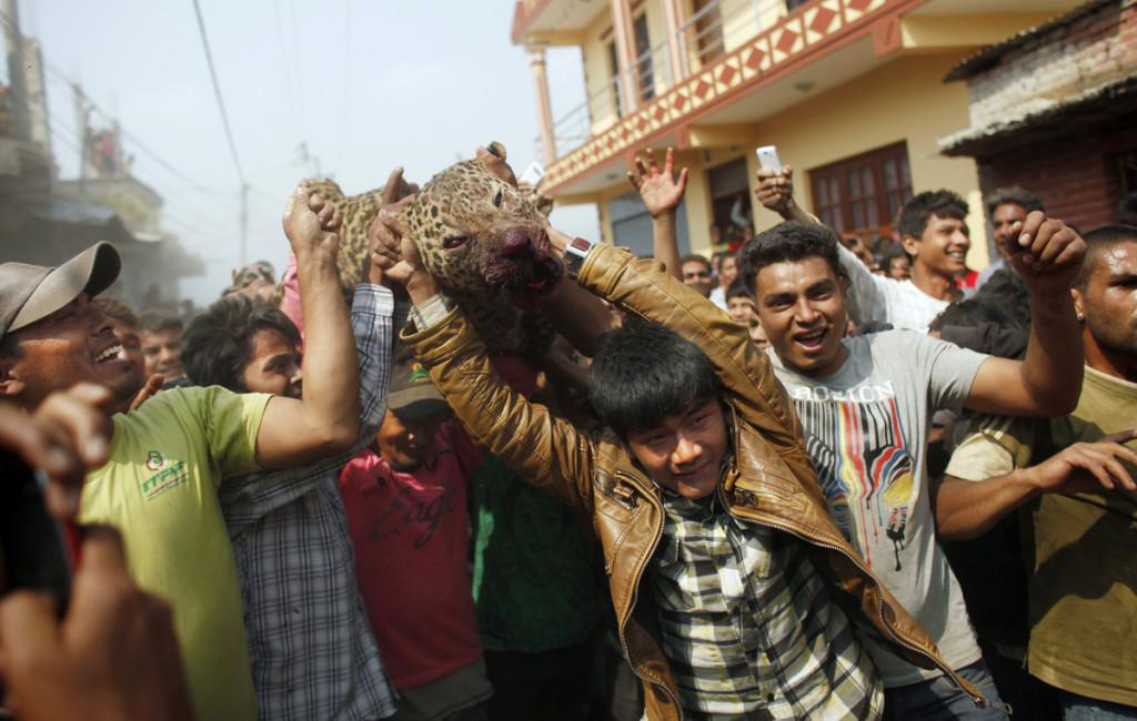 Leopard Kathmandu Niranjan Shrestha 2