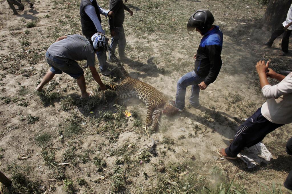 Leopard Kathmandu Niranjan Shrestha 3
