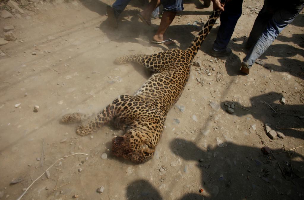 Leopard Kathmandu Niranjan Shrestha 4
