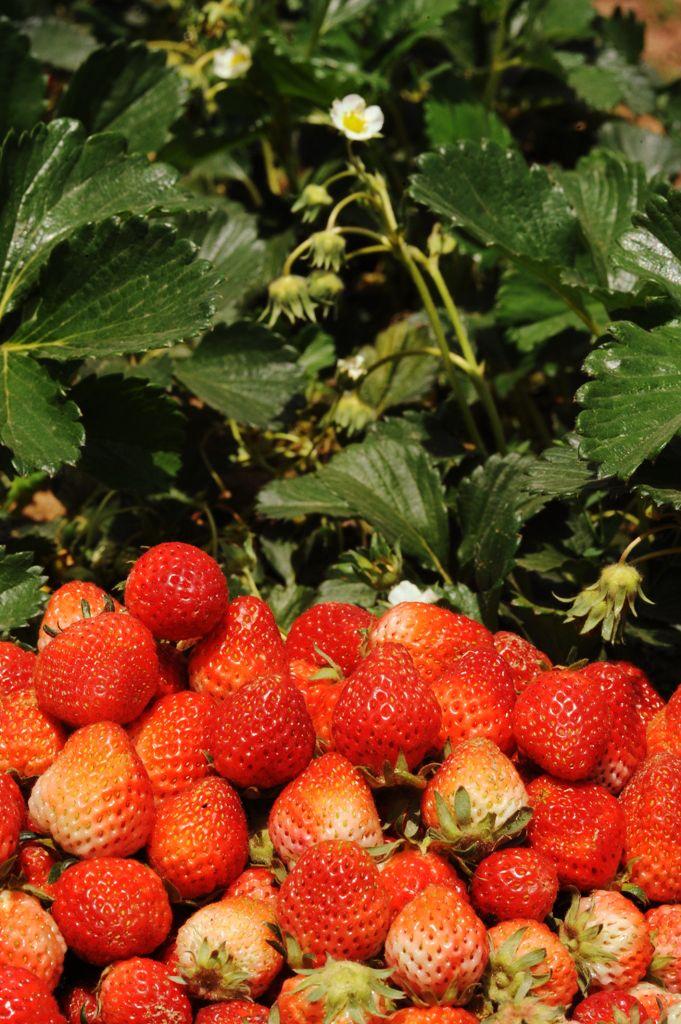 Nepali Strawberries.jpg