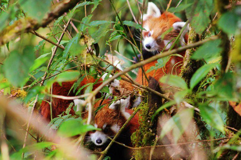 Red-Panda-Ilam-Nepal (12)