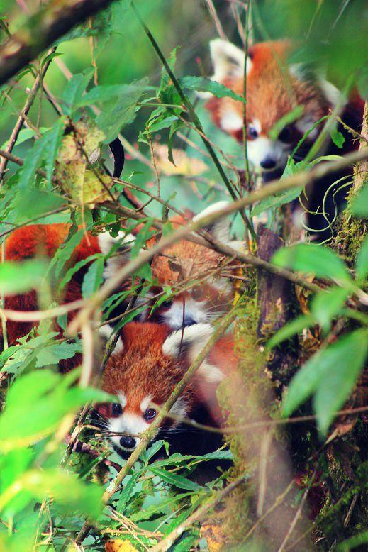 Red-Panda-Ilam-Nepal (13)