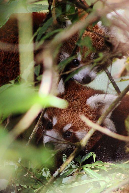 Red-Panda-Ilam-Nepal (9)