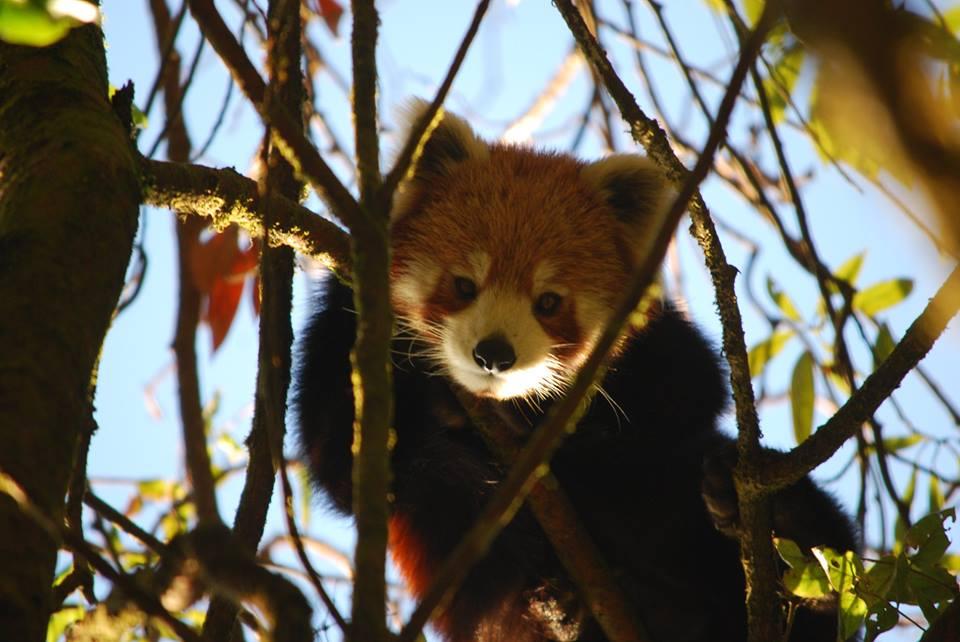 Red-Panda-Nepal-1