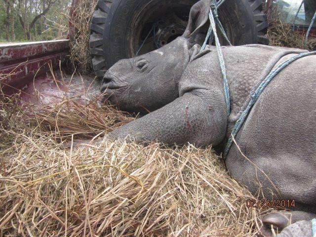 Rescued Baby Rhino Chitwan 1
