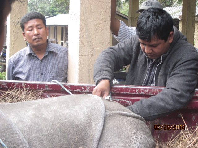Rescued Baby Rhino Chitwan 2