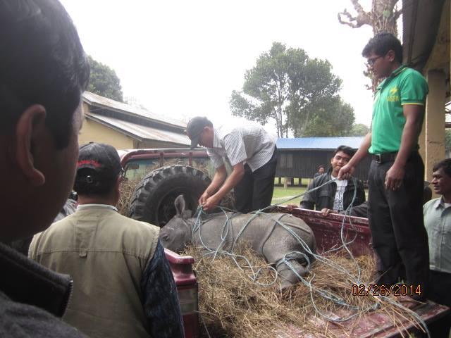 Rescued Baby Rhino Chitwan 3