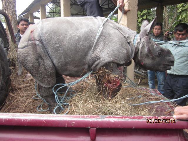 Rescued Baby Rhino Chitwan 4