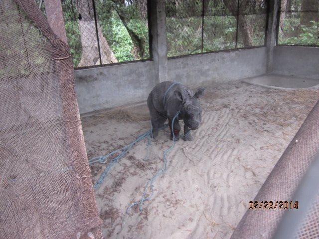 Rescued Baby Rhino Chitwan 6