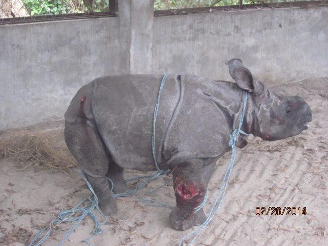 Rescued Baby Rhino Chitwan 7