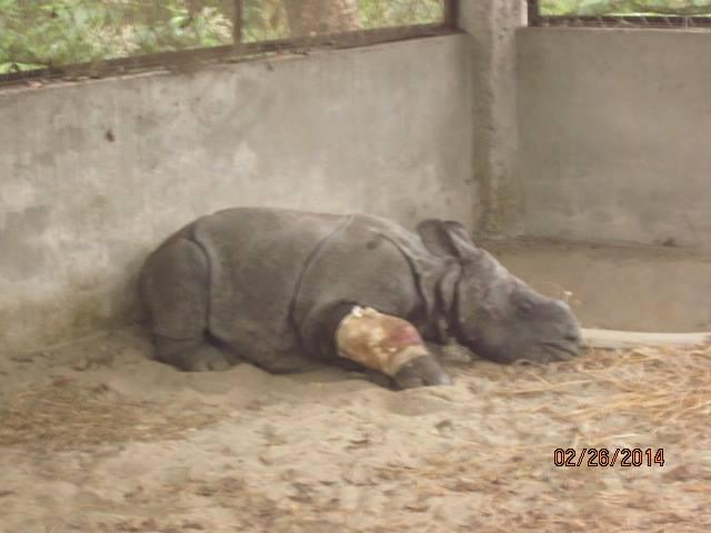 Rescued Baby Rhino Chitwan 8