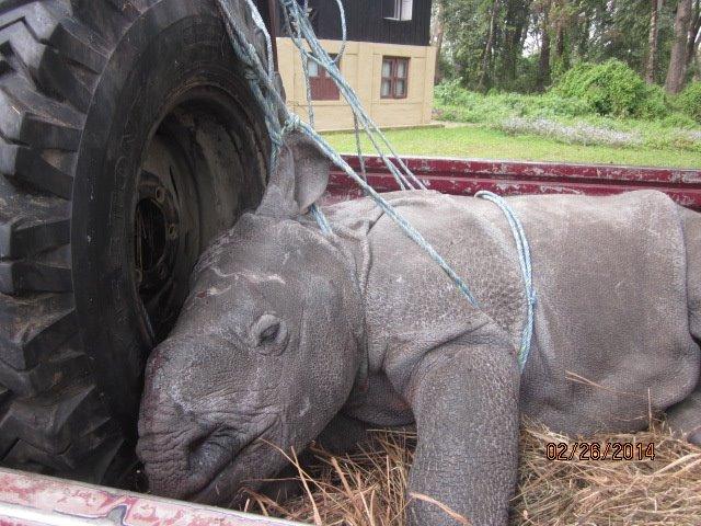 Rescued Baby Rhino Chitwan