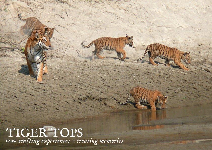 Tigers at Bardia National Park