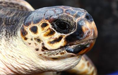 Turtle-Nepal